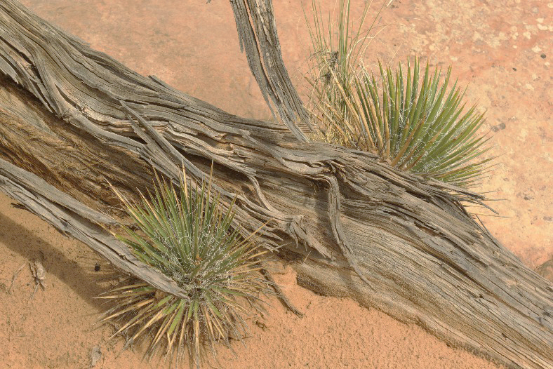 Canyonlands - Agave and Weathered Tree Branch