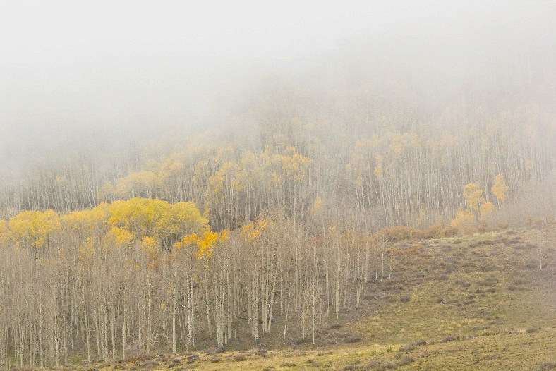 Dixie National Forest - Aspen in the Fog