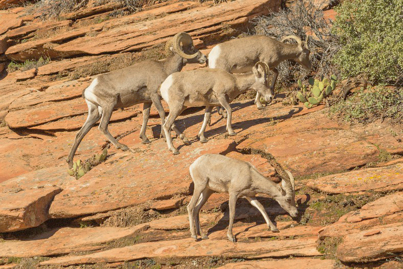Zion - Big Horn Sheep